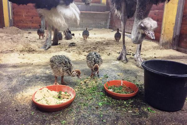 Ach du dickes Ei – neun Straußen-Küken sind im Allwetterzoo Münster geschlüpft!