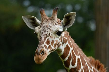 Giraffenbulle Rocky aus dem Allwetterzoo wird Niederländer