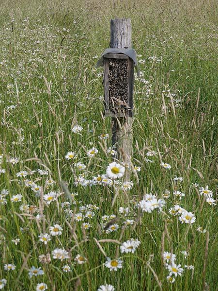 Lebensraum für Margerite und Schmetterling