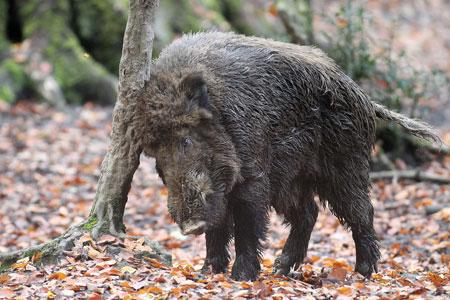 Stadt bittet um Mithilfe bei Maßnahmen gegen die Afrikanische Schweinepest