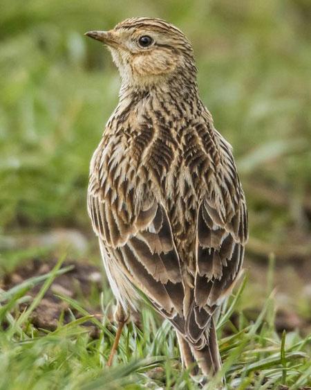 Inseln für die Feldlerche - Vogelfreunde können gewinnen