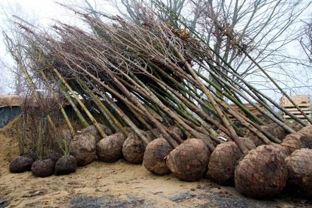 60 neue Bäume für das Stadtgebiet Dülmen