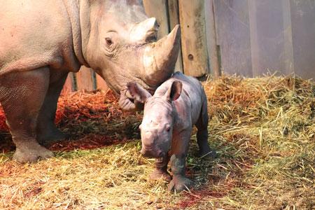 """Eine """"schwere Geburt"""" im Zoo Dortmund: Nashorn-Baby gesund zur Welt gekommen"""