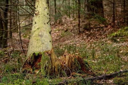 Schäden an Wald-, Straßen- und Parkbäumen weiten sich aus