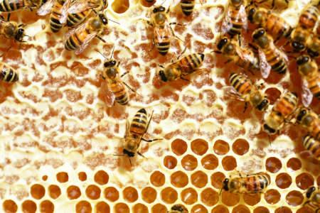 Amerikanische Faulbrut bei Bienen im Kreis Warendorf ausgebrochen